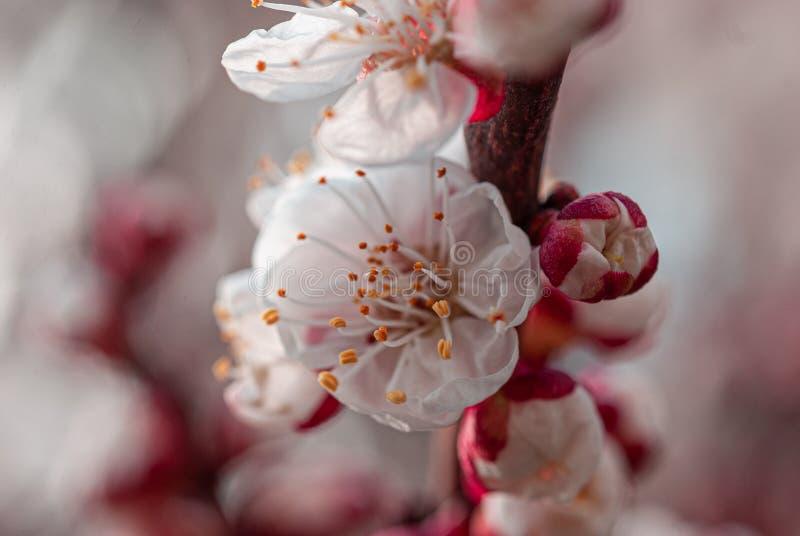 乌克兰第聂伯罗省春园杏树花 免版税库存照片