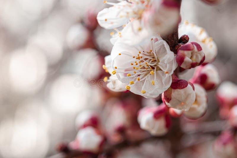 乌克兰第聂伯罗省春园杏树花 免版税库存图片