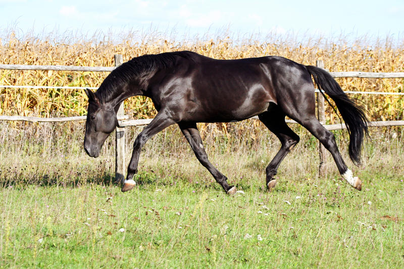 乌克兰马品种马 免版税库存照片