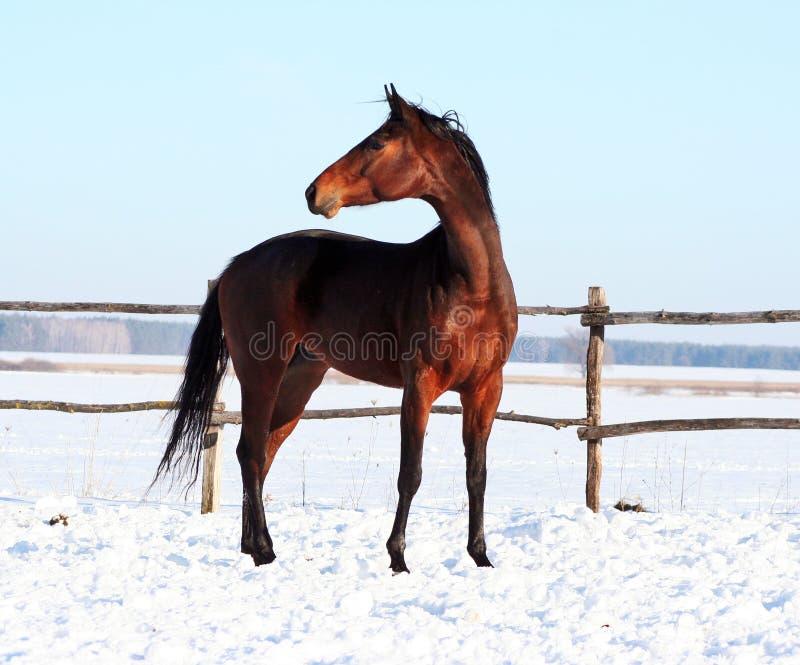 乌克兰马品种马 图库摄影