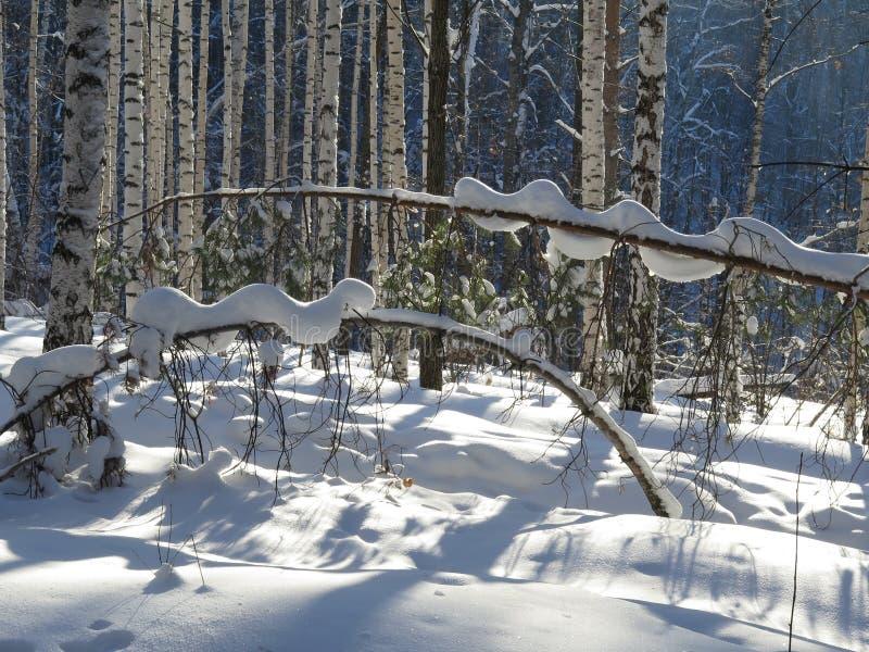 乌拉尔山,冬天森林,在雪,一张美妙的冬日` s照片的一棵树 免版税库存照片