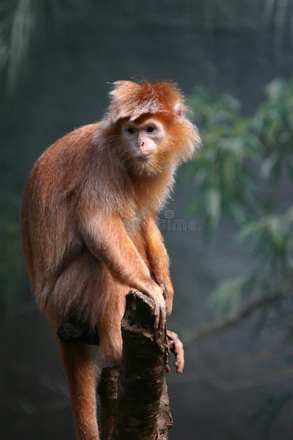 乌木叶猴 图库摄影