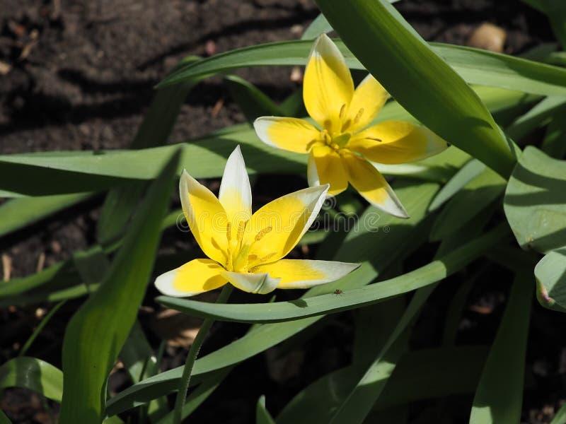 乌鲁米亚的Tuipa Tarda或Tulipa 库存图片