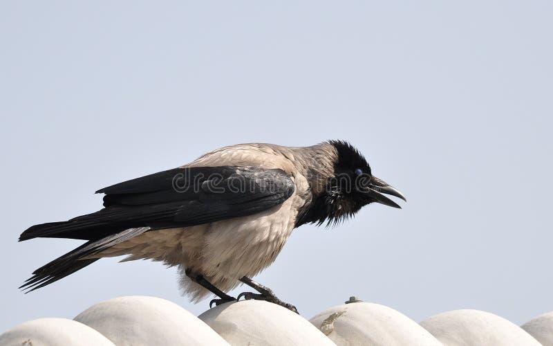乌鸦叫的乌鸦 库存照片