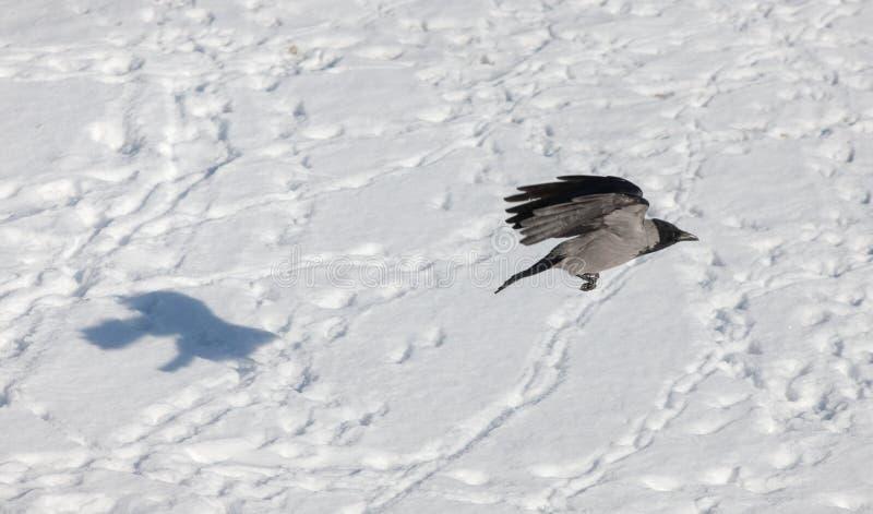 乌鸦和它的阴影 免版税库存图片