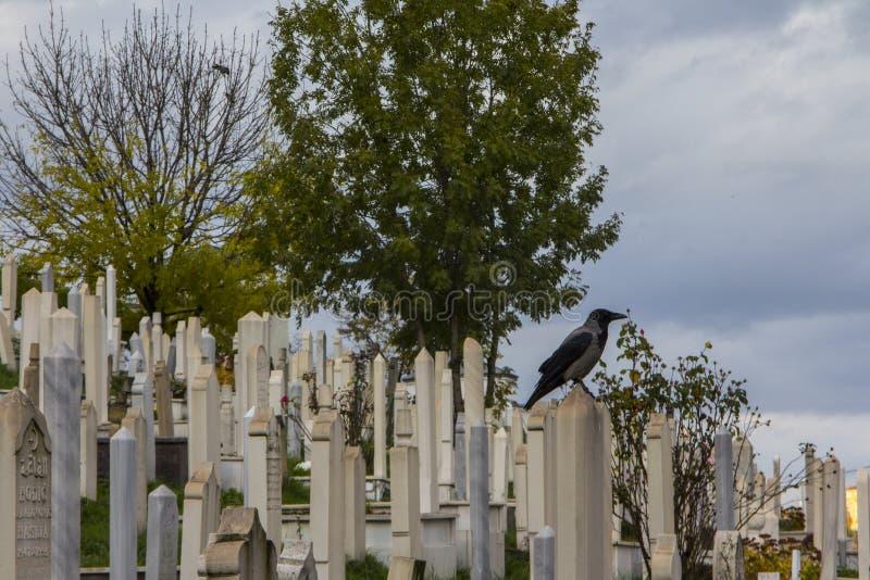 乌鸦在回教公墓 萨拉热窝波黑 库存图片