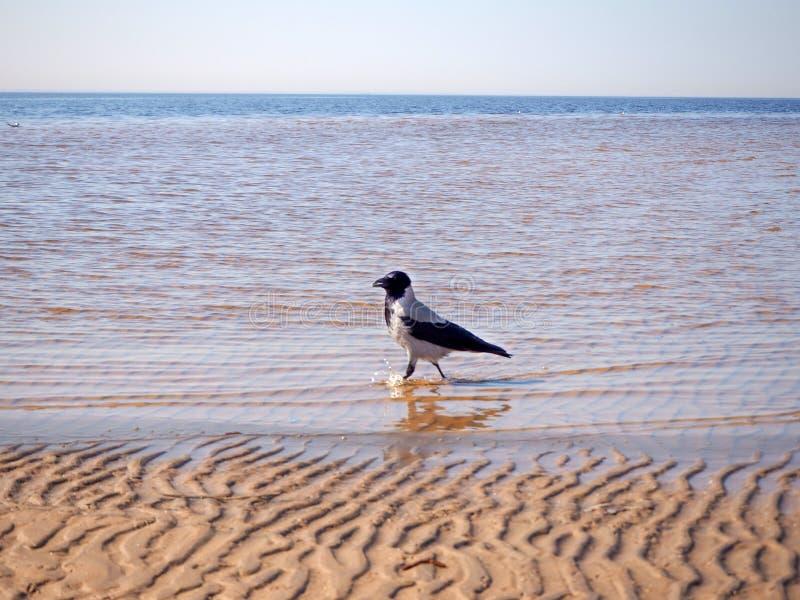乌鸦在水中走在海滩附近 免版税库存图片