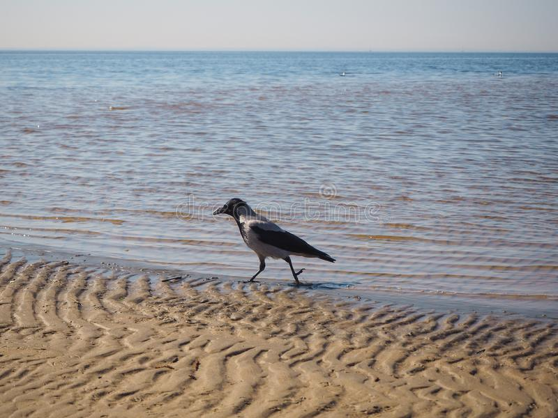 乌鸦在沙子走 库存照片
