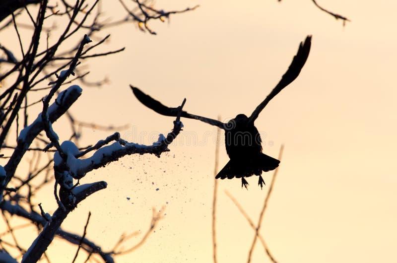 乌鸦在飞行中在日落 免版税库存图片