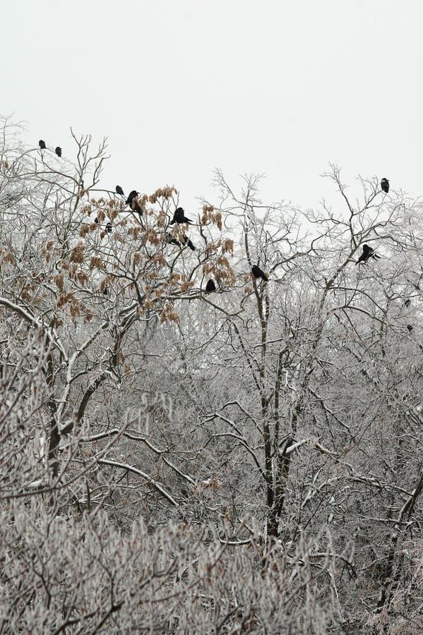 乌鸦坐树梢在冬天 免版税图库摄影