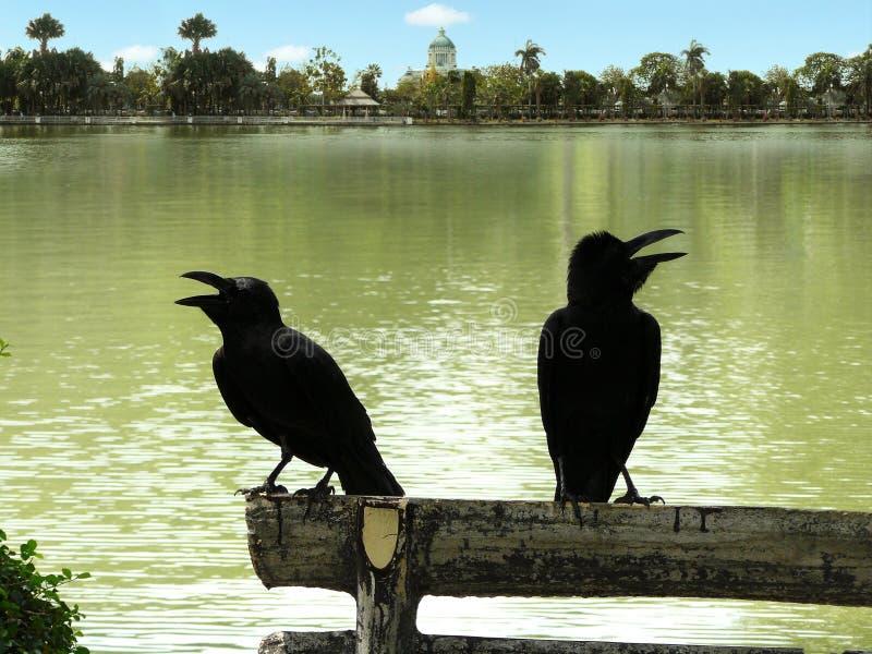 乌鸦夫妇在日志的 库存图片