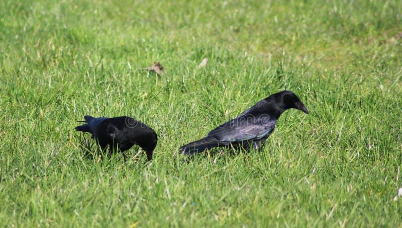 黑乌鸦夫妇 免版税库存图片