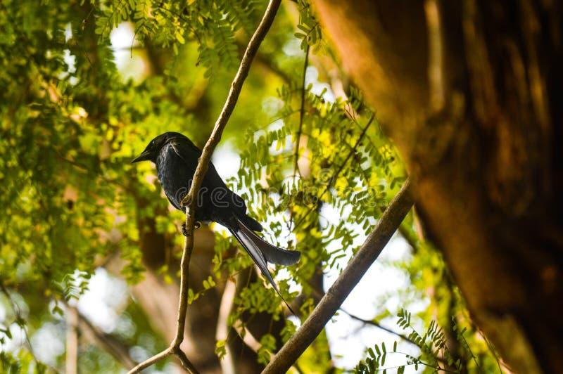 乌鸦开帐单的燕卷尾 库存照片