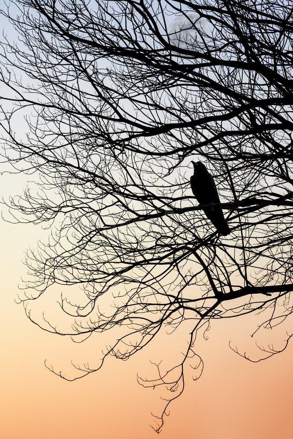 乌鸦栖息处剪影在树枝的 库存照片