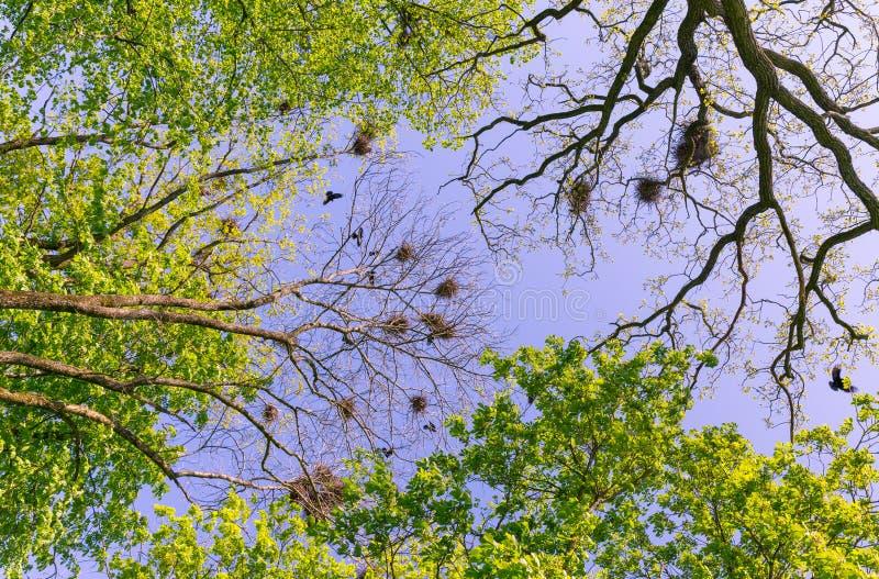乌鸦飞行在巢 免版税库存图片