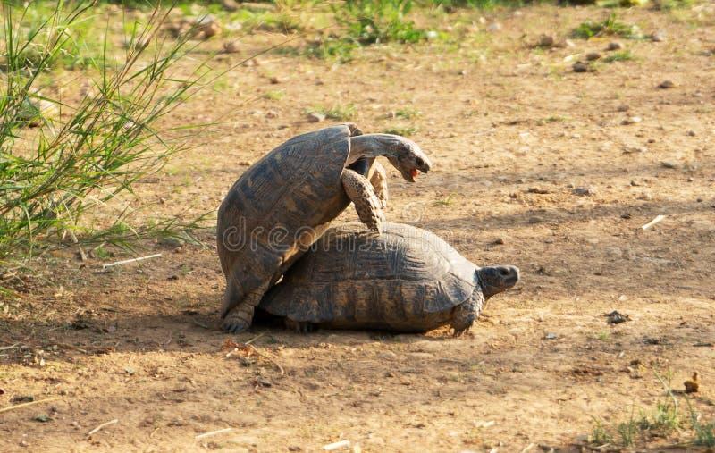 乌龟做爱 库存照片