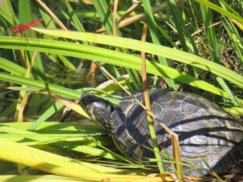 乌龟和红色蜻蜓,干尼亚州,克利特 免版税库存图片