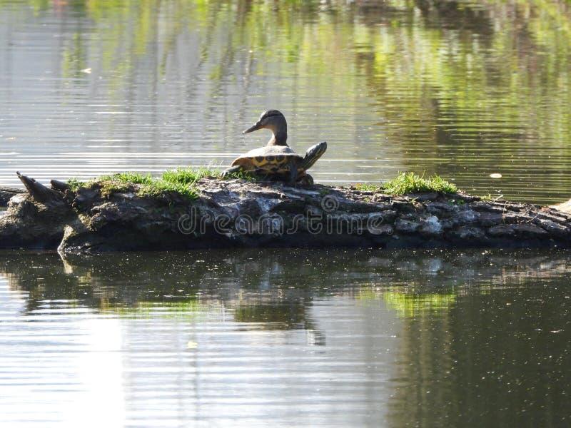 乌龟和鸭子 免版税图库摄影