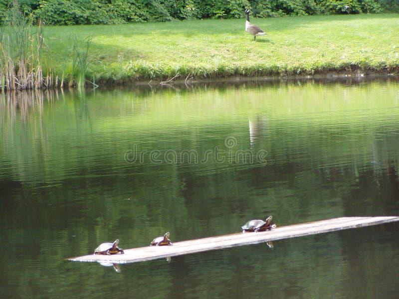 乌龟和鹅 免版税库存图片
