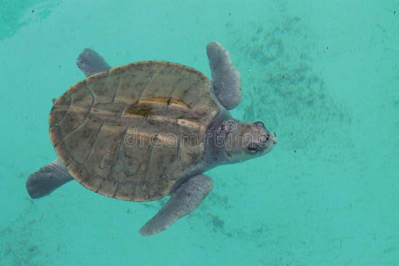 乌龟在海滨del卡门 免版税库存图片