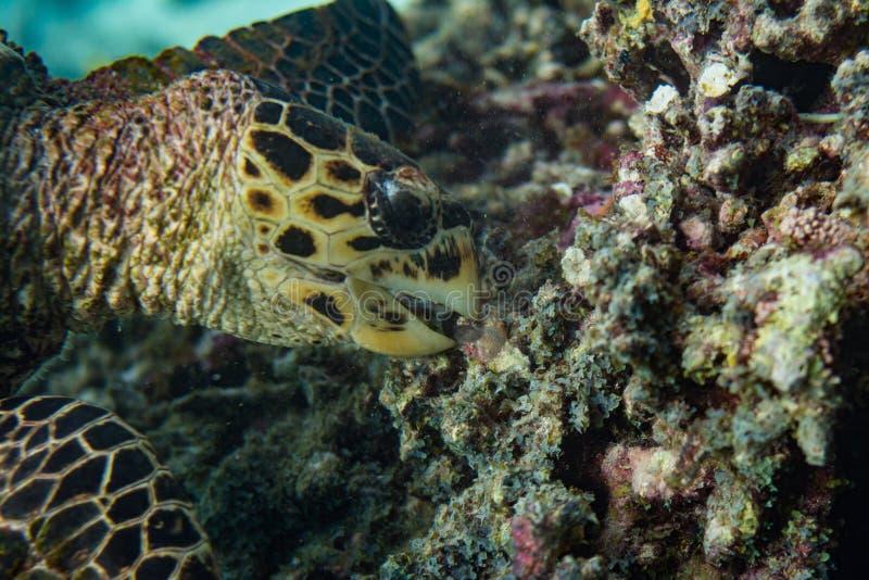 乌龟在珊瑚礁哺养在马尔代夫 库存照片