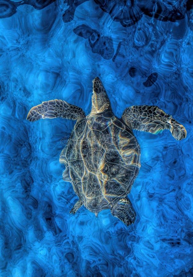 乌龟在表面下 库存图片