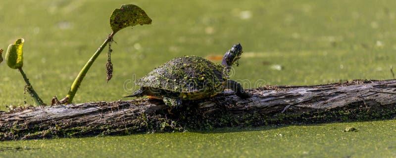 乌龟在Cajun沼泽&湖马丁,在布里奥克斯桥和Lafa附近 免版税库存图片