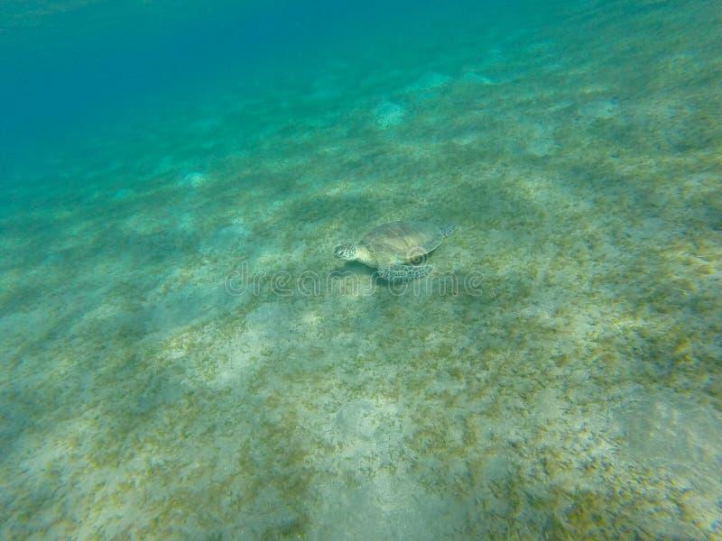 乌龟坐海底 红海射击水下的西奈 库存图片