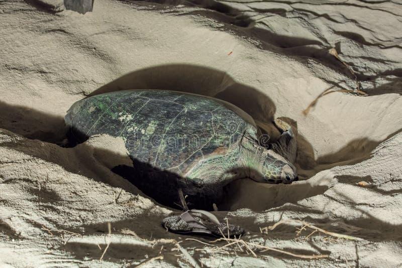 乌龟嵌套 免版税库存图片