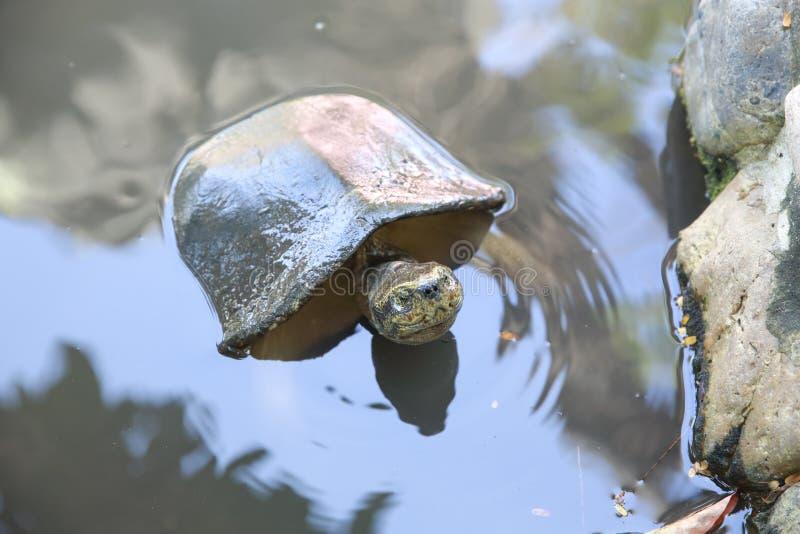 乌龟游泳在室外的水中 免版税库存图片
