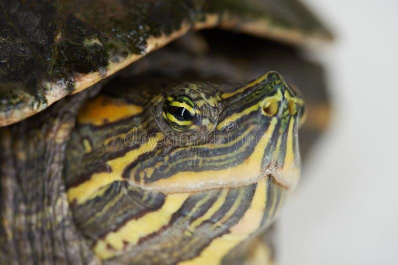 乌龟爬行动物题材 免版税库存图片