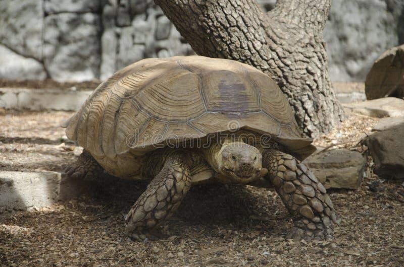 乌龟爬行 库存照片