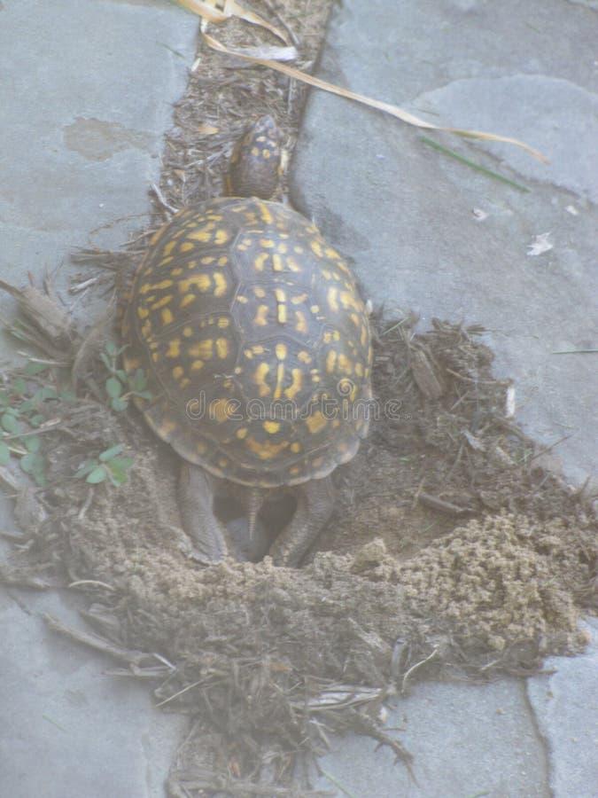 乌龟鸡蛋 库存照片