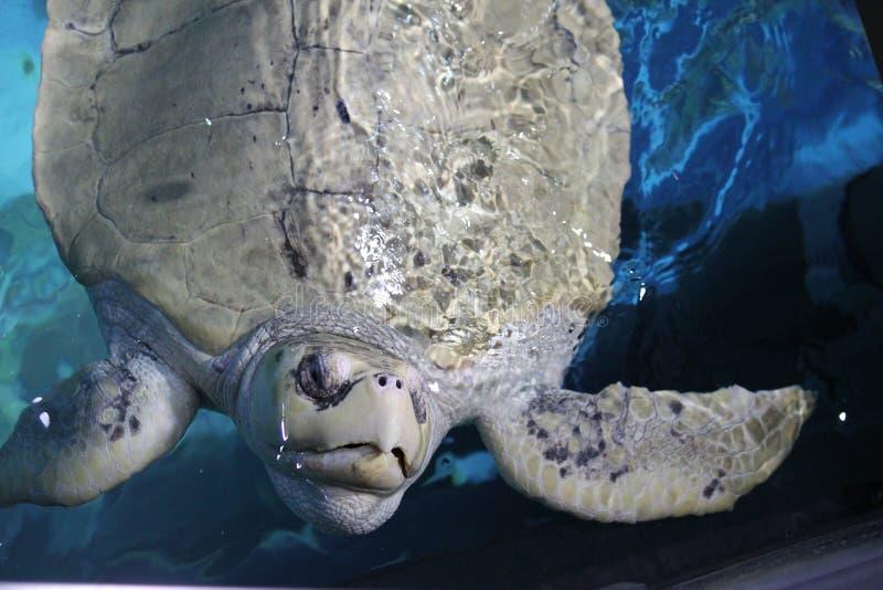 乌龟致敬 免版税库存图片