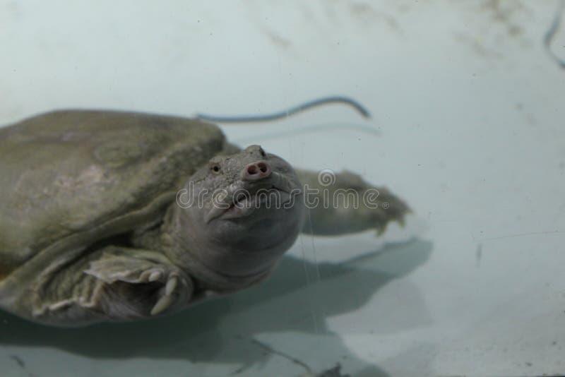 乌龟Trionics汉语 库存照片