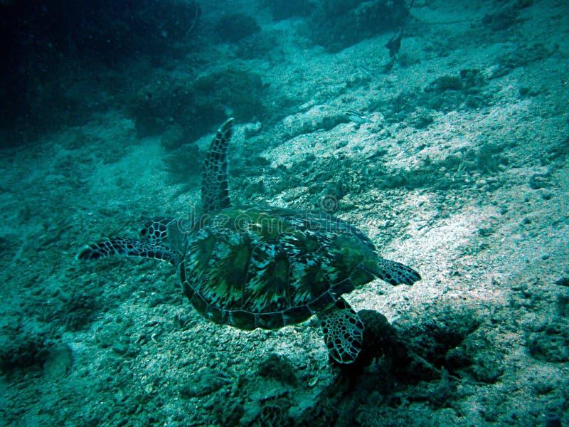 乌龟zanzibat坦桑尼亚 库存照片