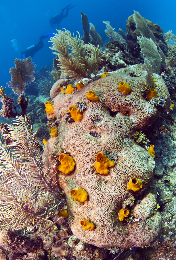 乏味脑珊瑚海绵 免版税库存图片