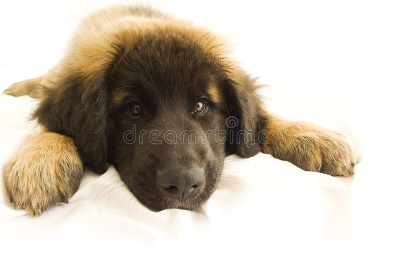 乏味leonberger小狗 库存图片
