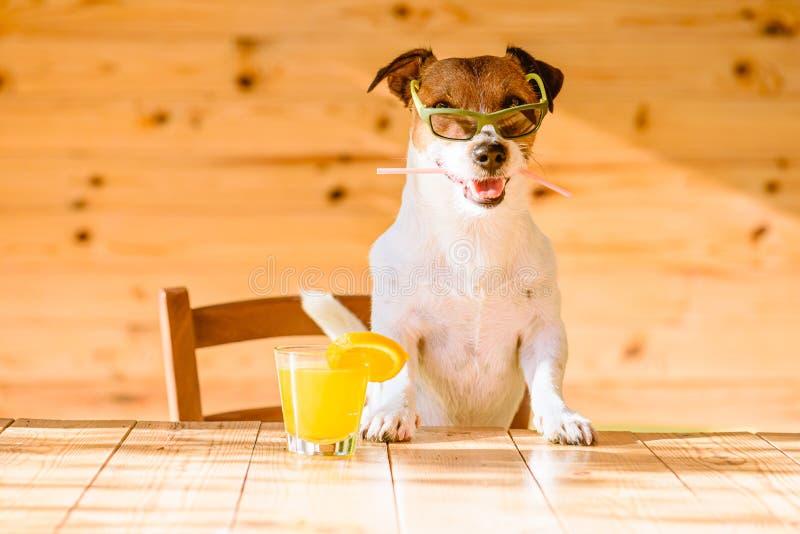 乐趣、假期和旅行概念—与新鲜的橙汁过去藏品鸡尾酒秸杆的狗在放松在酒吧的嘴 免版税库存照片