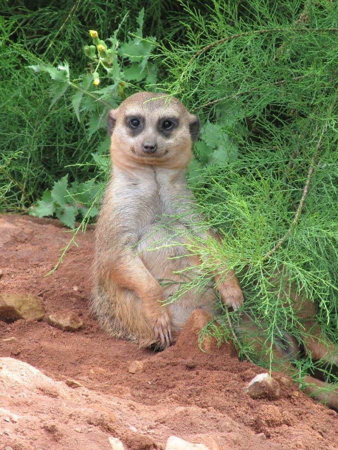 乐趣和非常滑稽的meerkats在步行在摆在为摄影师的动物园里 免版税库存照片