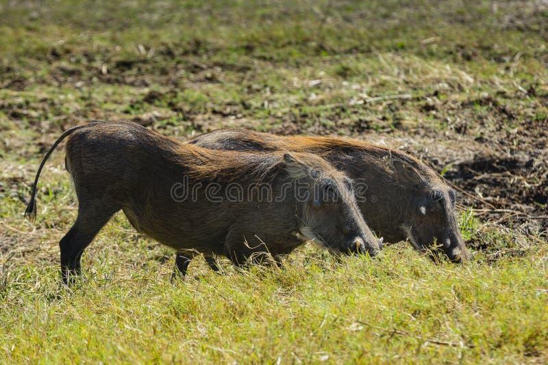 乔贝国家公园野生生物  库存照片