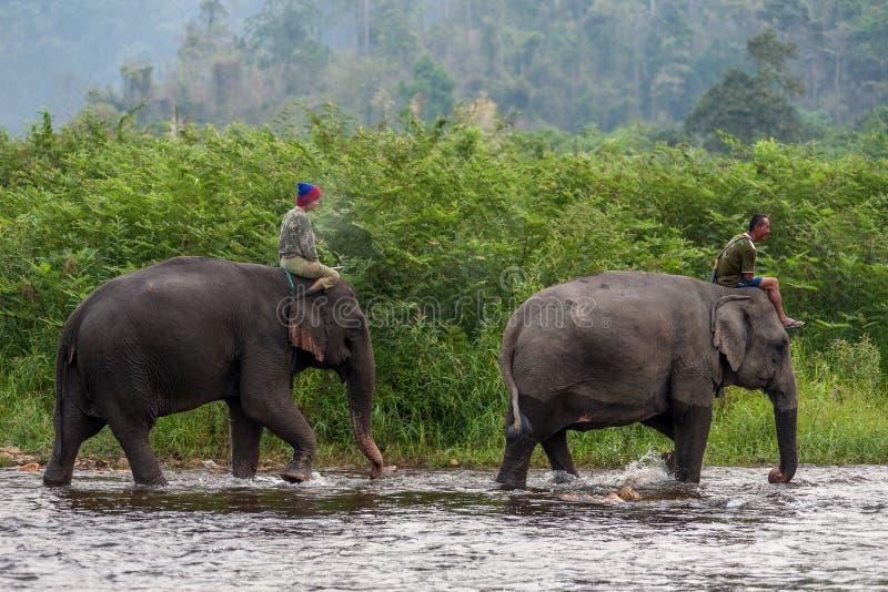 乘坐大象的泰国mahouts在河 图库摄影