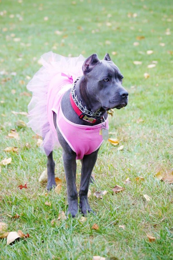 九个月的在礼服的藤茎corso意大利大型猛犬 免版税库存照片