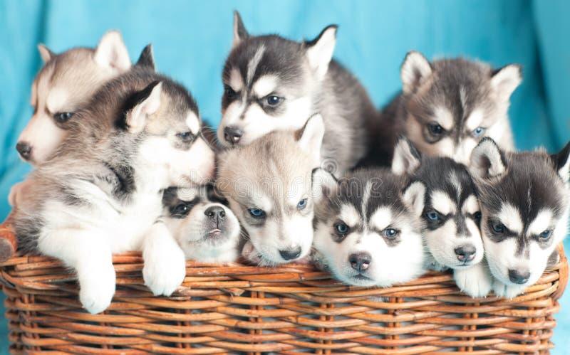 九只多壳的小狗 库存照片