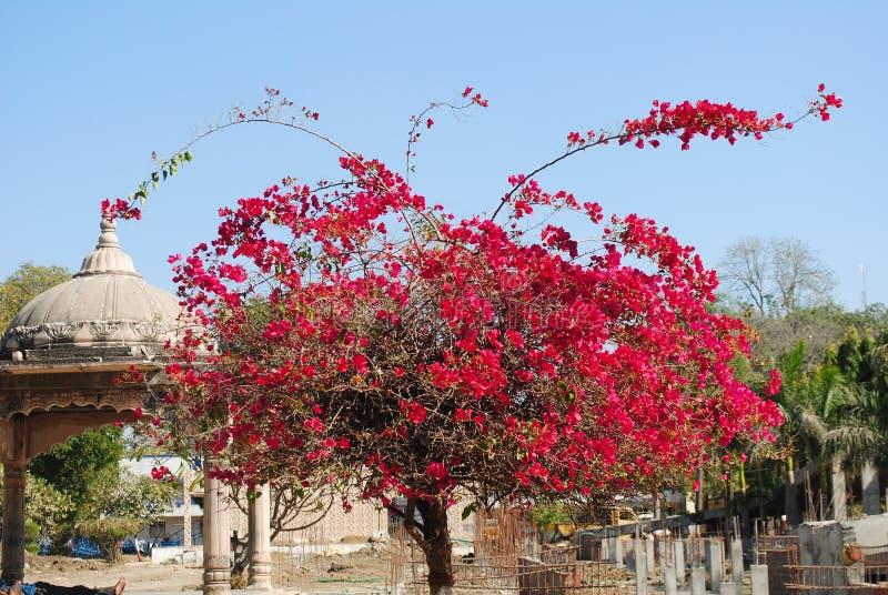 九重葛开花的灌木和爬行物 免版税库存照片