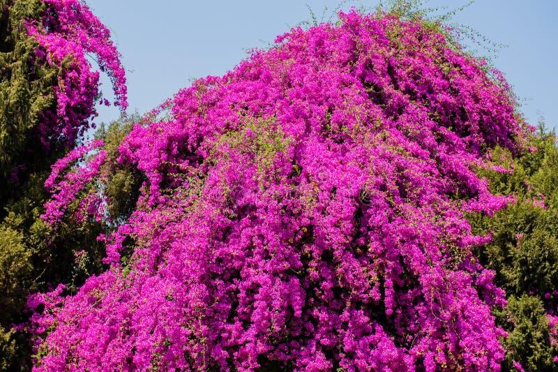 九重葛树在哈拉雷-津巴布韦,南非 库存照片