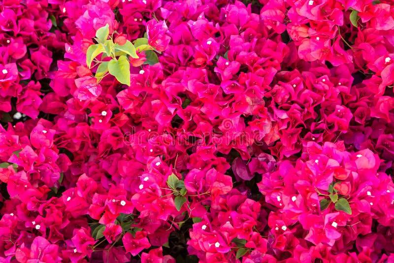 九重葛桃红色花背景 免版税图库摄影