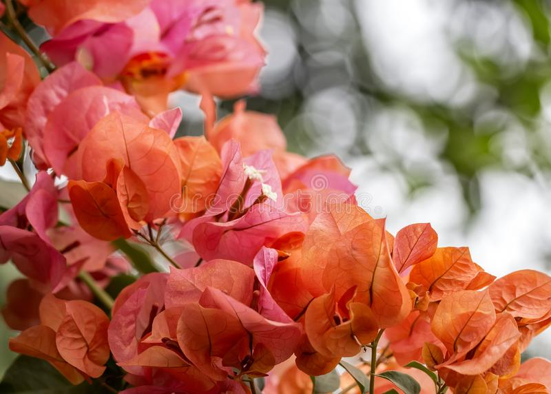 九重葛橙色花关闭与bokeh在背景中 图库摄影