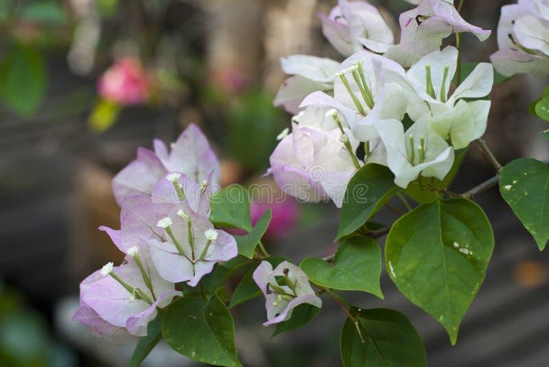 九重葛白色美丽的开花开花与绿色叶子 特写镜头 软的背景 图库摄影