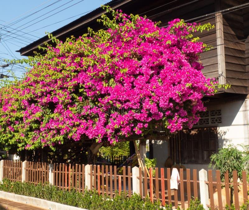 九重葛花是五颜六色的在家庭菜园 免版税库存照片
